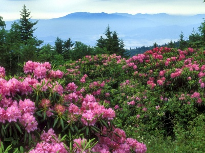 Rhododendrons Roan Mountain North Carolina