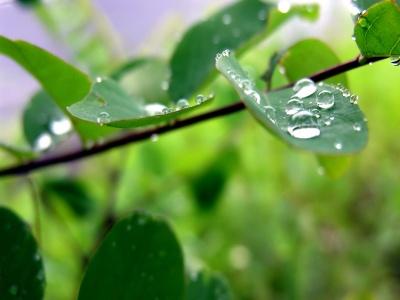 wallpaper green leaves. Green leaf water drop 09
