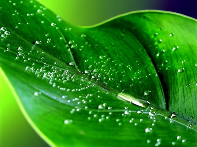 wallpapers water drops. Green leaf water drop 10
