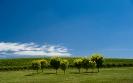 High summer vines